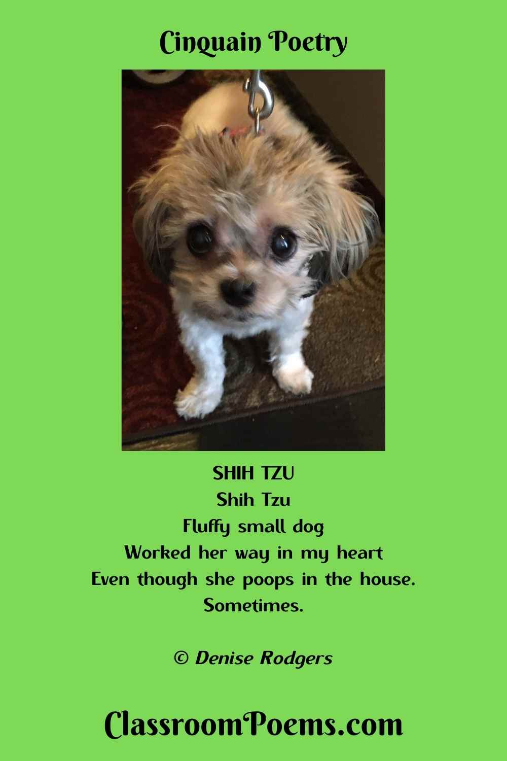 Shih Tzu Cinquain Poem by the Poetry Lady Denise Rodgers on ClassroomPoems.com.